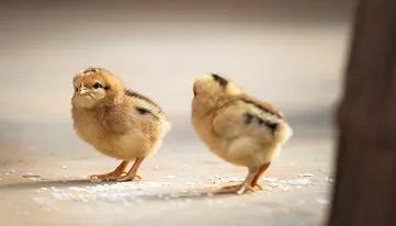 养殖雏鸡需要掌握哪些技术?以及养殖的注意事项