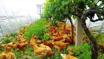春季林下养鸡如何管理?夏季如何保障林下养鸡高产?